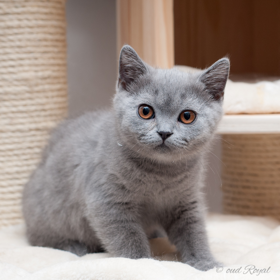 Oud Royal british shorthair cattery from Germany